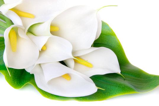 white Calla lilies on a white background