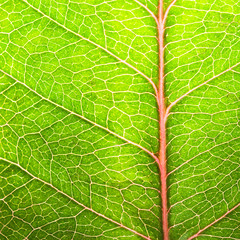 Green leaf texture close-up