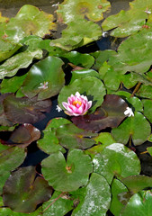 Pink water lily with green leaves on the lake