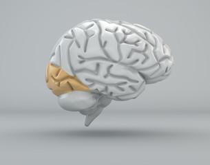 Cervello lobo occipitale divisione