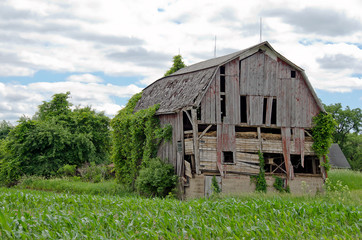 dilapidated old barn in  a cornfield