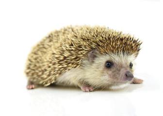 Hedgehog isolate on white background