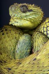Fototapete - Hairy bush viper / Atheris hispida