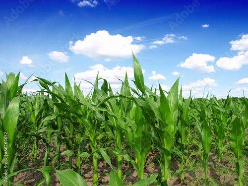 corn field download - photo #29