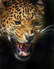 Foto op Canvas Luipaard Leopard
