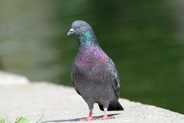 pigeon standing on park alley near the lake