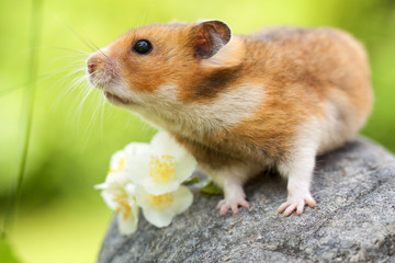 Cute Hamster (Syrian Hamster) on a stone.
