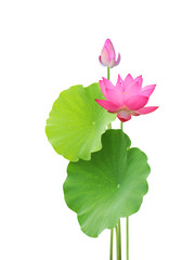 lotus flower and leaves isolated on white background