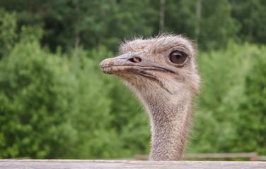 Portrait of an African ostrich