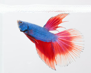 Siamese fighting fish on white background
