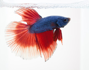 Siamese fighting fish isolated on white background