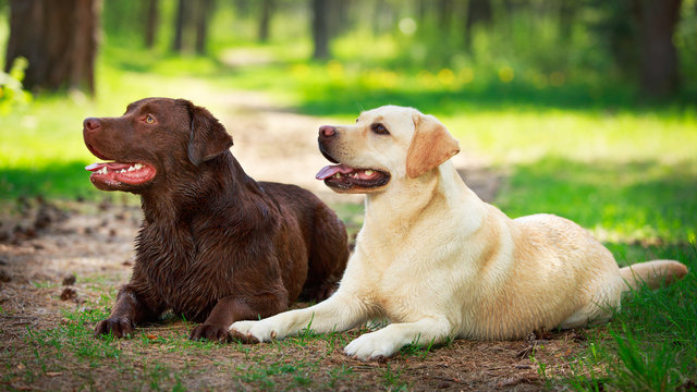 two  labrador retriever dog