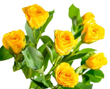 yellow rose bush flowers isolated on white background