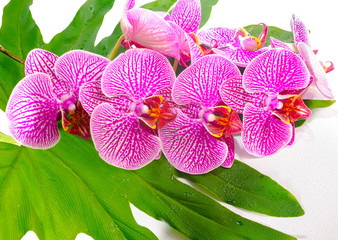 blooming twig stripped violet orchid (phalaenopsis ) on big gree