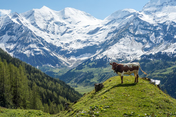 Young bull in Alps