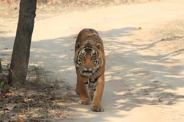 Indischer Tiger im Nationalpark Bandhavgarh Indien