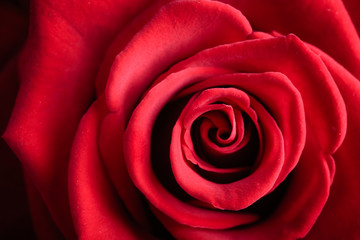 Closeup red rose flower as love nature background