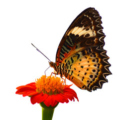 Butterfly on a white background.