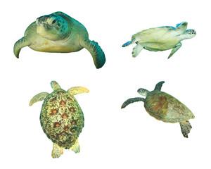 Sea Turtles isolated on white