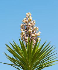 Yucca Gloriosa (Spanish Bayonet)