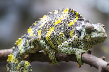 reptile, chameleon uploaded to a branch with beautiful green col