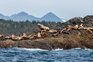 Stellar sea lion and in the background Vancouver island