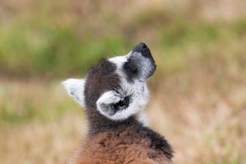 Maki catta - Lemur catta - en gros plan