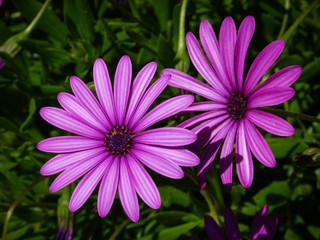 Osteospermum Fleurs pétales roses mauves violettes