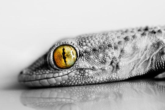 Smiling Gecko