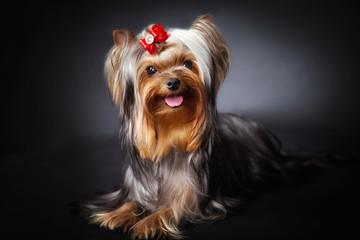 Exhibition Yorkshire Terrier Portrait