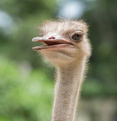 Close up of ostrich head