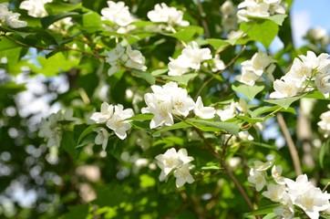 Duftende Jasminblüten am Strauch vor Himmelblau