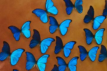 Blue morpho butterflies background