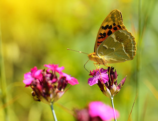 Butterfly on a wildflower