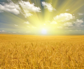 Acrylic Prints Village gold wheat field under clouds