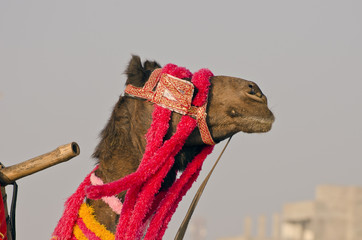 decorated camel head in asia