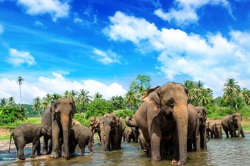 Srilanka elephants in the river