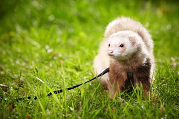 Male ferret on leash  Wall mural