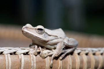 Tropical frog on wood.