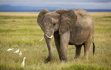 Elephant with curved tusks and egrets