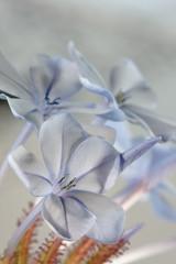 plumbego flower