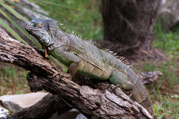Iguana on a wood ful body
