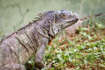 Iguana on zoo portrait