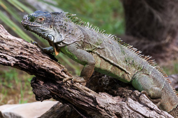 Iguana walking on a wood closer