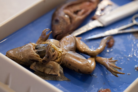 Close-up of frog and fish comparative anatomy dissection in biology lab