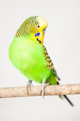 The budgerigar (Melopsittacus undulatus)