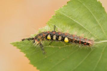 Caterpillar - Orgyia antiqua