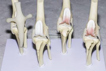 Knee Joint Display