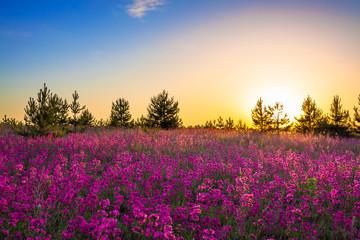 purple flowers on a meadow at sunrise