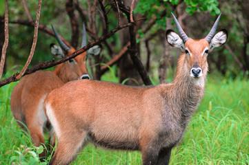 Antilopes in Niokolo Koba park in Senegal, Africa